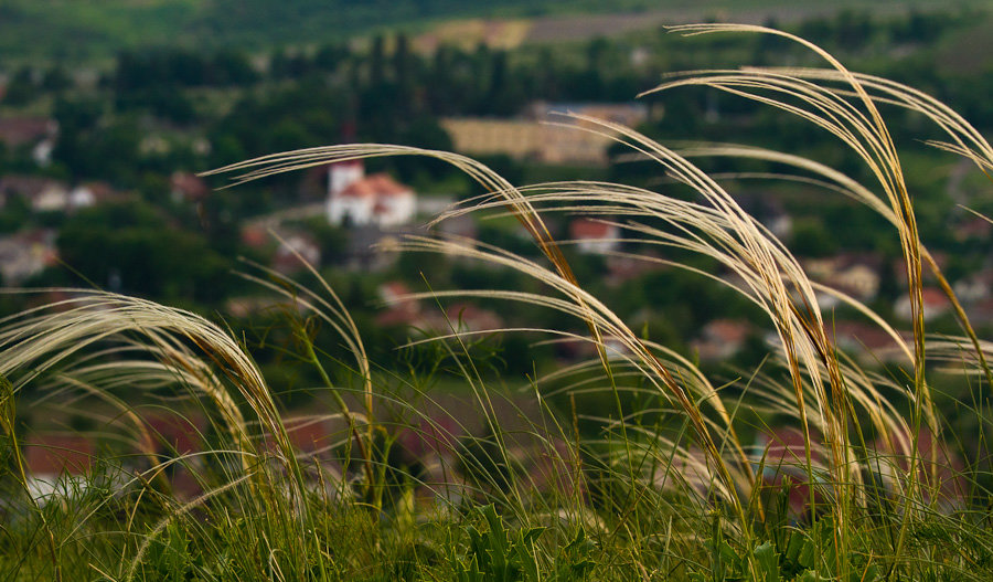 Feather_grass_2